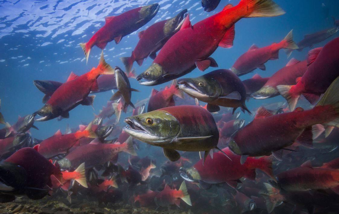 Universidad Santo Tomás obtiene patente de invención nacional por la creación de un sistema de cuantificación de antibióticos en salmones