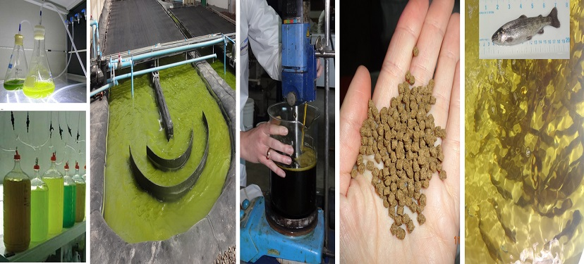 Inmunoestimulantes para la industria salmonera a partir de cultivos sustentables de microalgas
